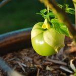 Tomatillo Substitutes